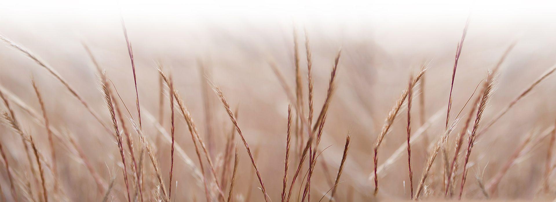 pamper grass